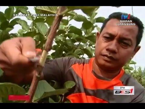 Kaedah Pembiakan Pokok Oleh MARDI (RTM1)