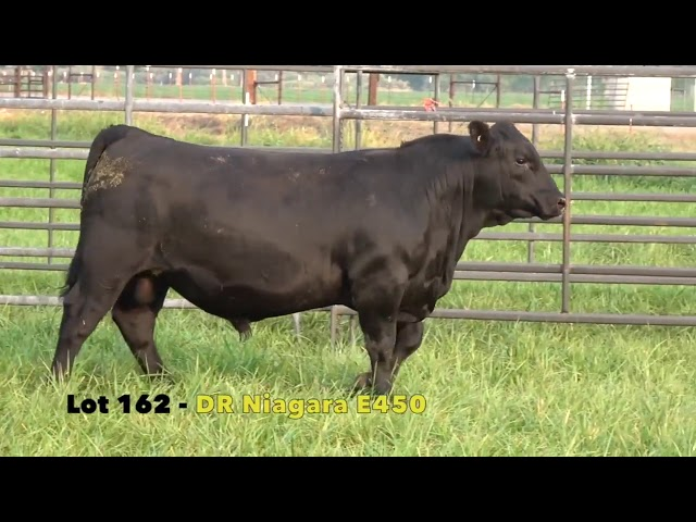 Black Gold Bull Sale Lot 162