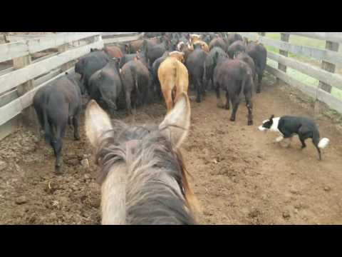 Moving cattle up the alley with Brick and Solo
