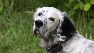 English Setter  large size dog breed