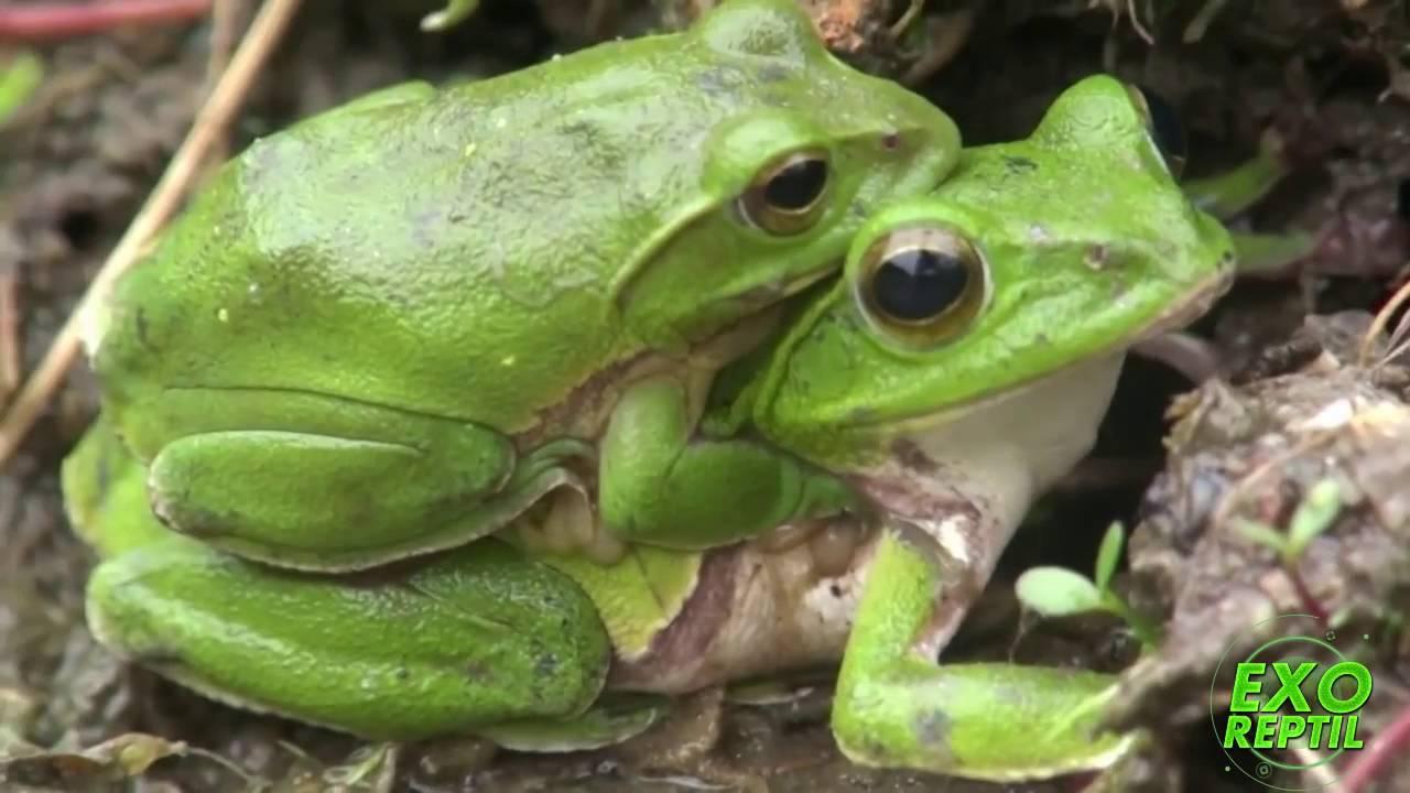 Exo reptil como se reproducen las ranas youtube for Como se cocinan los percebes