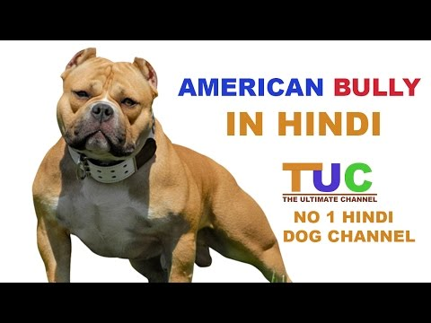 American Bully Dog Facts In Hindi | Dog Facts | Popular Dogs | The Ultimate Channel