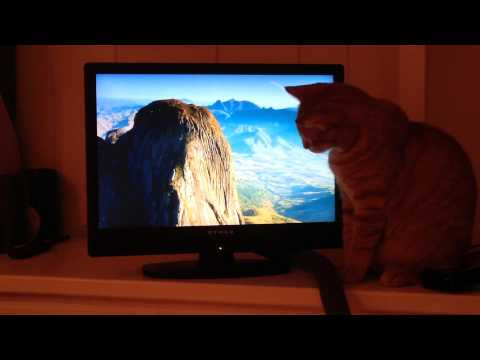 "Oliver the cat watches trailer for ""Island of Lemurs: Madagascar"" on television"