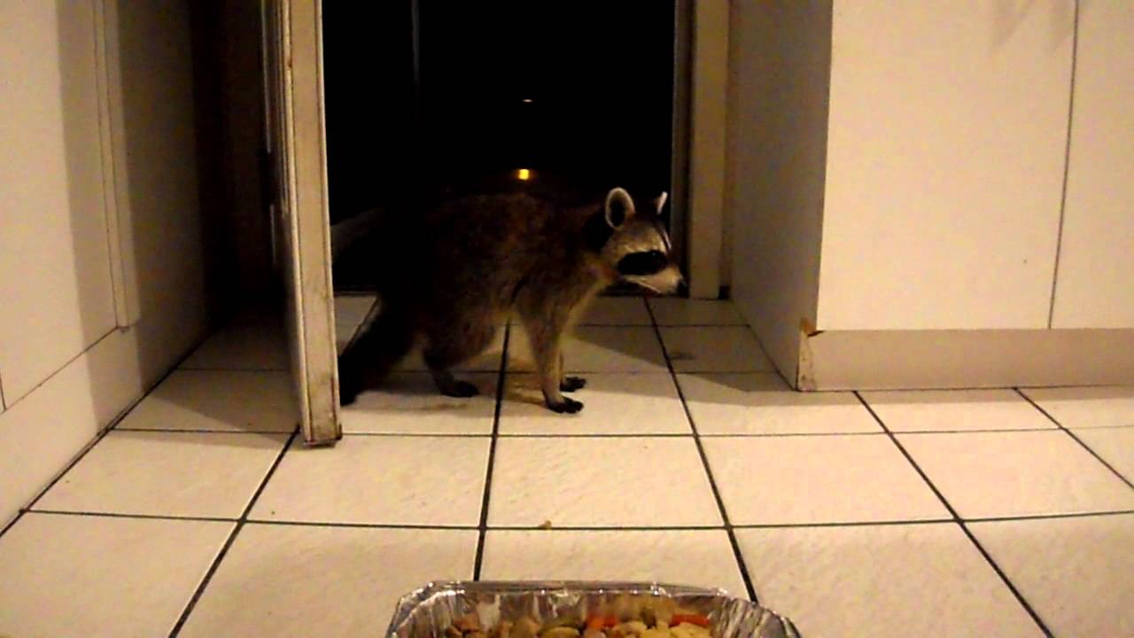 THERE\'S A RACOON IN MY HOUSE! - YouTube