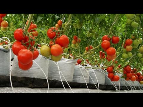 Como sembrar tomates en botellas plasticas youtube for Como plantar patatas en casa