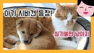 아기 시바견 왔을 때 고양이 반응 shiba inu puppy