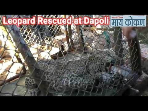 Dapoli - Leopard Rescued by Forest Department | दापोलीत बिबट्याला वाचवण्यात यश