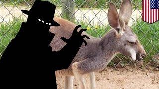 Włamanie do zoo: mały kangur skradziony wprost z torby kangurzycy