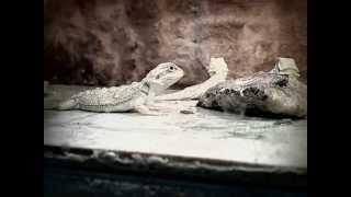 Agama vousatá / Bearded dragon - AGAMKY.EU - Funny video / Velmi vtipné / het Witblits babies