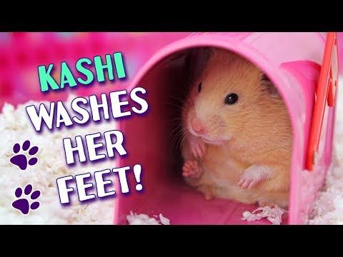 Gingersnap | A Cute Camera Shy Hamster - YouTube