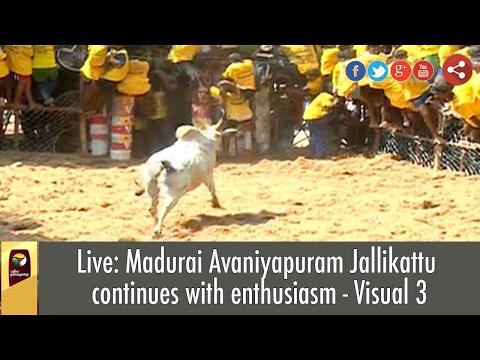 Live: Madurai Avaniyapuram Jallikattu Continues With Enthusiasm - Exclusive Visual