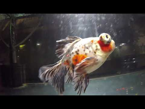 Lesson On Diagnosing Goldfish Poop
