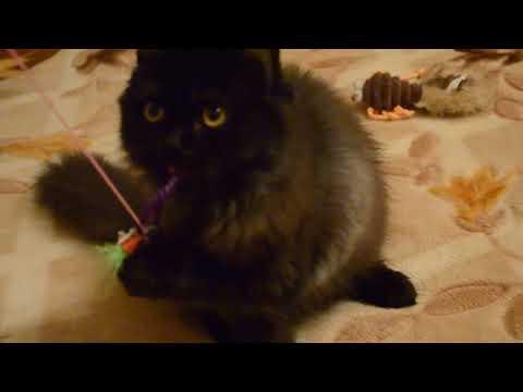 Шантильи Тиффани | порода кошек