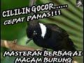 Masteran Berbagai Macam Burung Cililin Cor Dor Terbaru  Mp3 - Mp4 Download