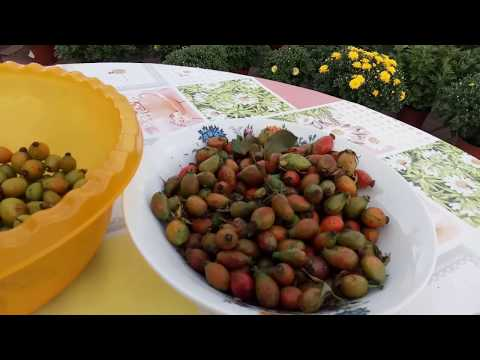 Как сажать шиповник семенами