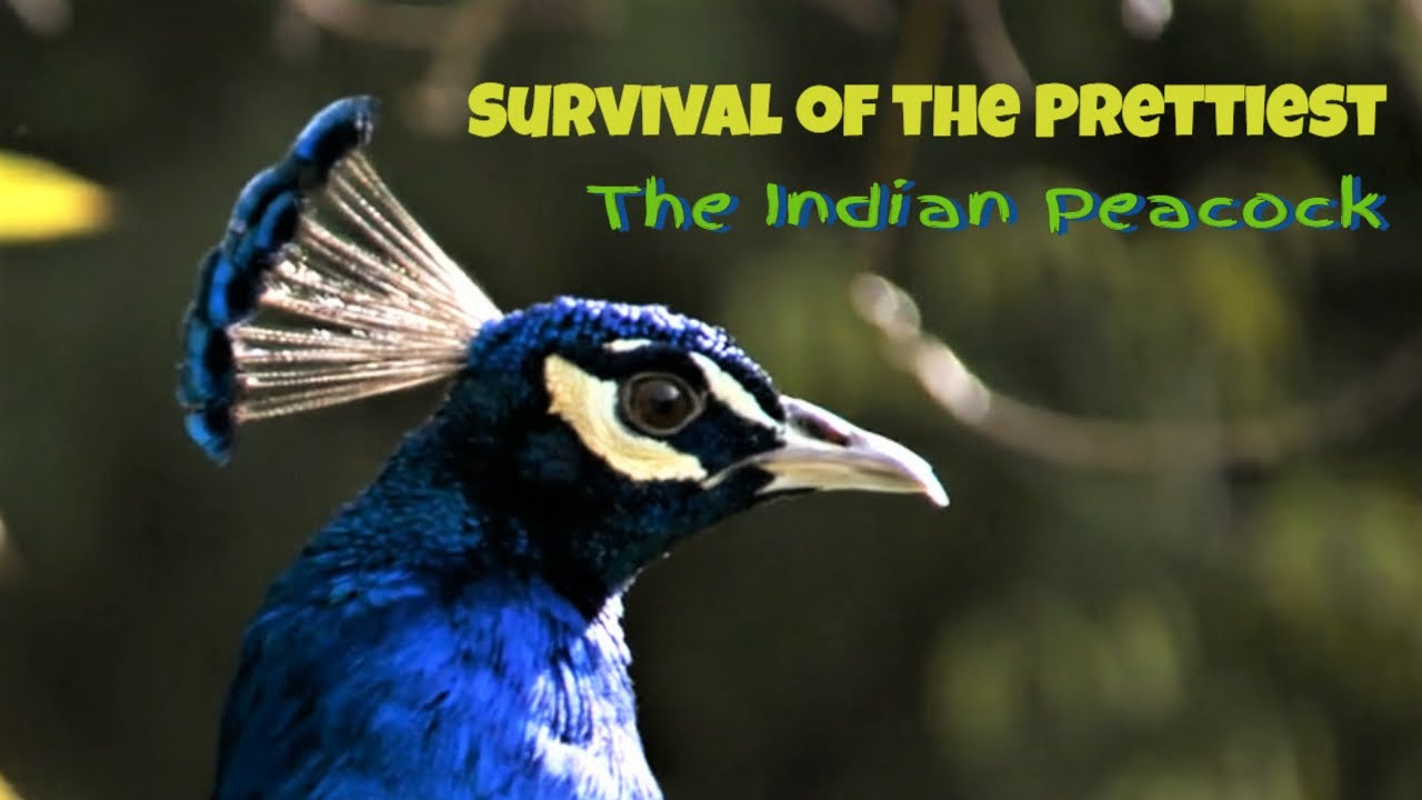 Survival of the Prettiest- The Indian Peacock (Pavo cristatus)