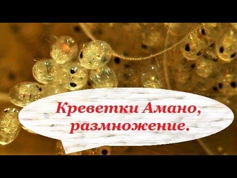 Креветки Амано, разведение в аквариуме. Размножение в домашних условиях.