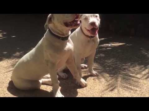 white pitbull puppies 2017 for sale in LA area