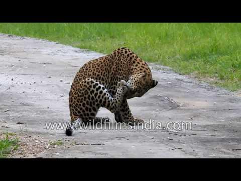 Leopard tries t