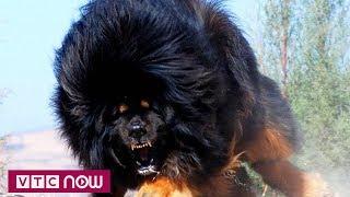 Sát thủ máu lạnh mang tên chó nghìn đô | VTC Now
