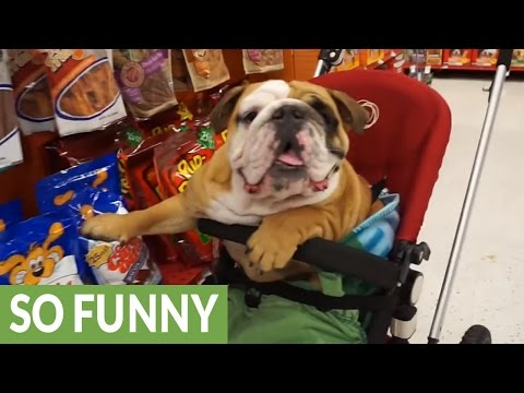 English Bulldog goes shopping at the pet store