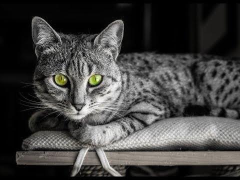 كل المعلومات عن القط المصري الماو EGYPTIAN MAU