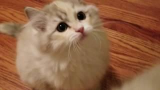 Kaerik RagaMuffin Kittens  The Moody Blues Litter 13 Weeks Old   kaerikrags.com