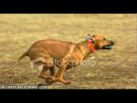Top 20 fastest dogs
