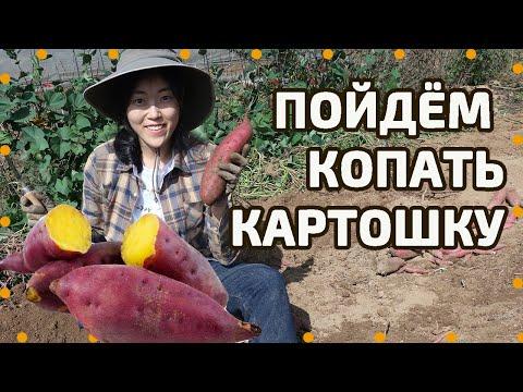 На уборку урожая сладкого картофеля! Как готовить и есть батат по-корейски