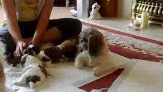 3 Week Old Shih Tzu Puppies Learning To Walk And Play
