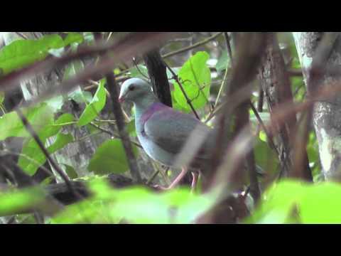 Birds of Cuba   Aves de Cuba