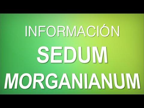 """INFORMACIÓN -  Sedum Morganianum """"Sedum"""" [CUIDADOS]"""