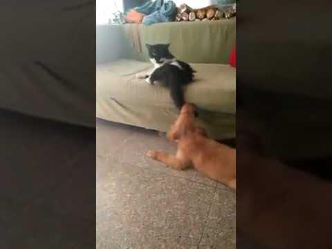 Cat attack on dog