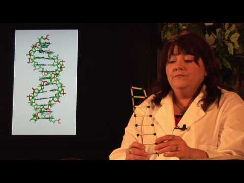DNA Structure & Testing : What Is DNA Semi-Conservative Replication?