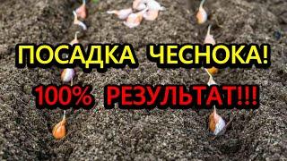 Посадка чеснока Если знать что добавить при посадке то чеснок растет большой и здоровый