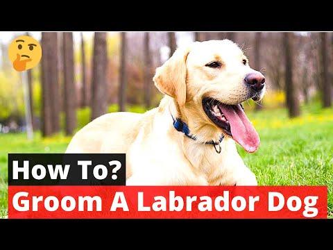 How to Groom a Labrador Retriever? Labrador Grooming
