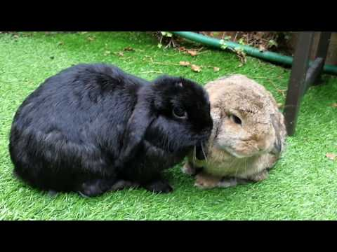 3 Year Old Mini Lop Rabbits ♡