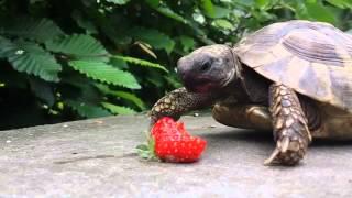 Tortoise Happily Snacks On Fresh Strawberry