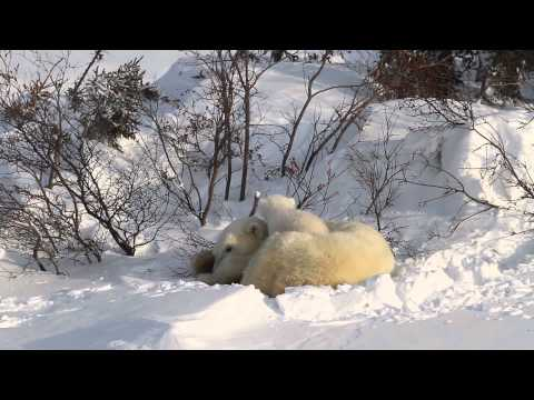Video of Polar Bear Mother with 2 newborn cubs