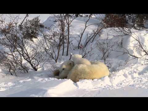 Video of Polar Bear Mother with 2 newborn cubs