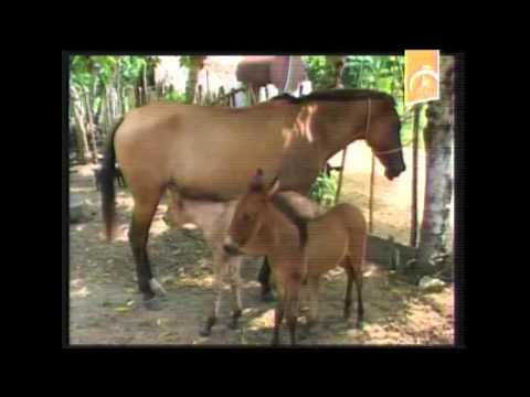 Sancti Spíritus fomenta la procreación de mulos para las montañas
