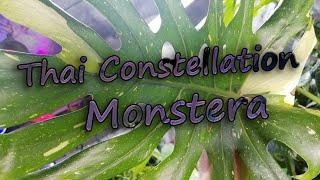 Variegated Monstera Deliciosa Repotting