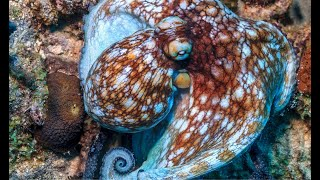 Caribbean Reef Octopuses Like to Stay Out of Sight | Oceana