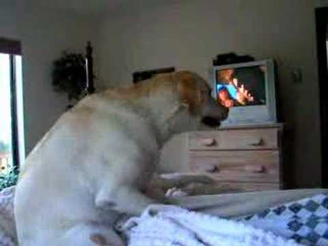 Labrador retriever female having an orgasm!!! from YouTube · Duration:  27 seconds
