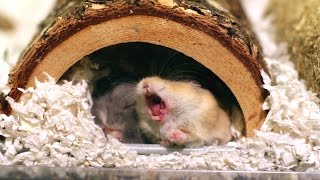 Ever wonder what it looks like when a hamster yawns?