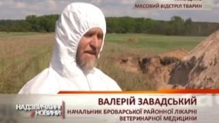 На Киевщине началось массовое убийство животных из-за африканской чумы