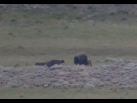 The Road To Yellowstone Part 6. Grizzly Bear In Hayden Valley And Wolves Hunting Bison