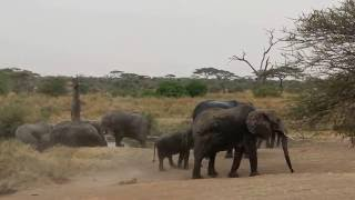 Baby elephant learns dust shower from mother; elephant pee pee and poo poo;