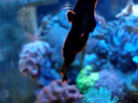 Feeding Pinnatus Batfish