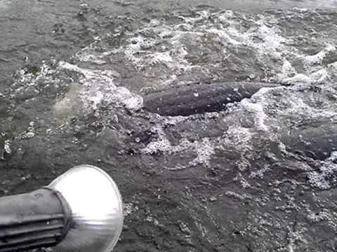 ปลาช่อนยักษ์อเมซอน ไนท์ซาฟารี